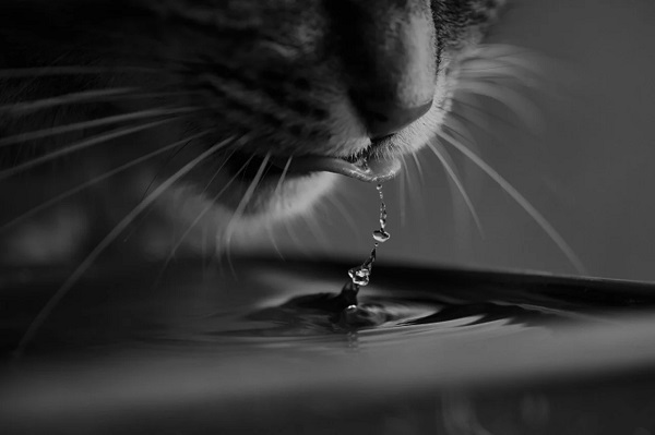 fontaine à eau maine coon